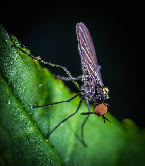 Macro Photography of Black Mosquito