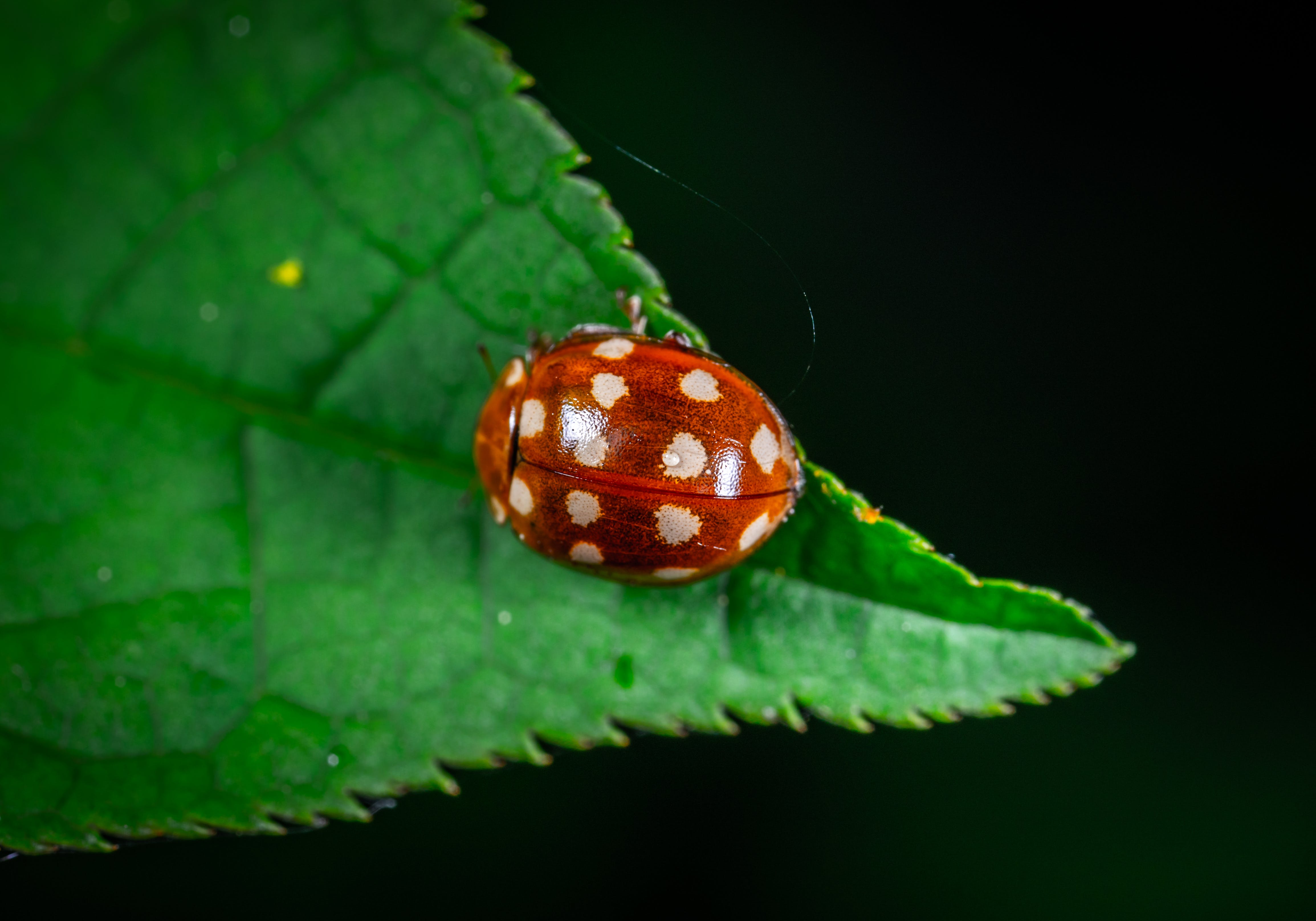 Macro Photography of Red Ladybug