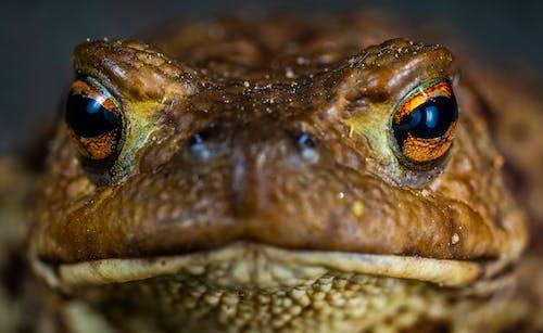 Δωρεάν στοκ φωτογραφιών με macro, αμφίβιος, αυτοκόλλητο, βάτραχος