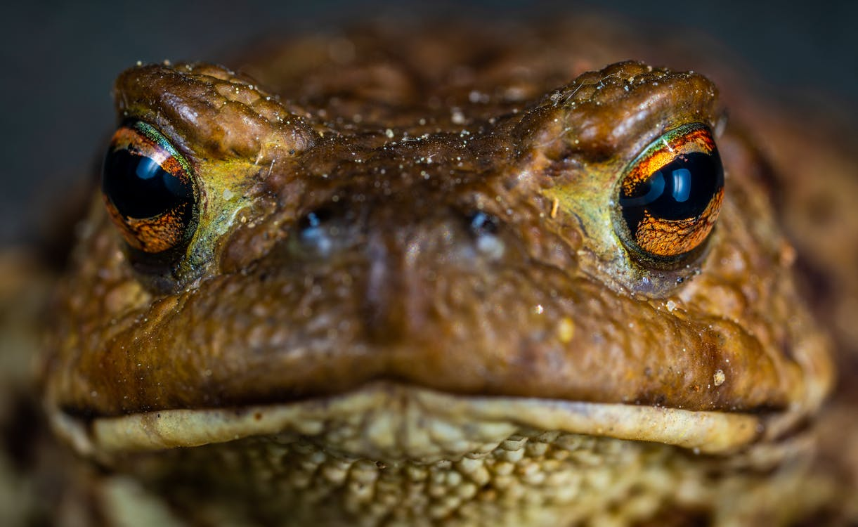 Macro Shot Photo of a Brown Frog