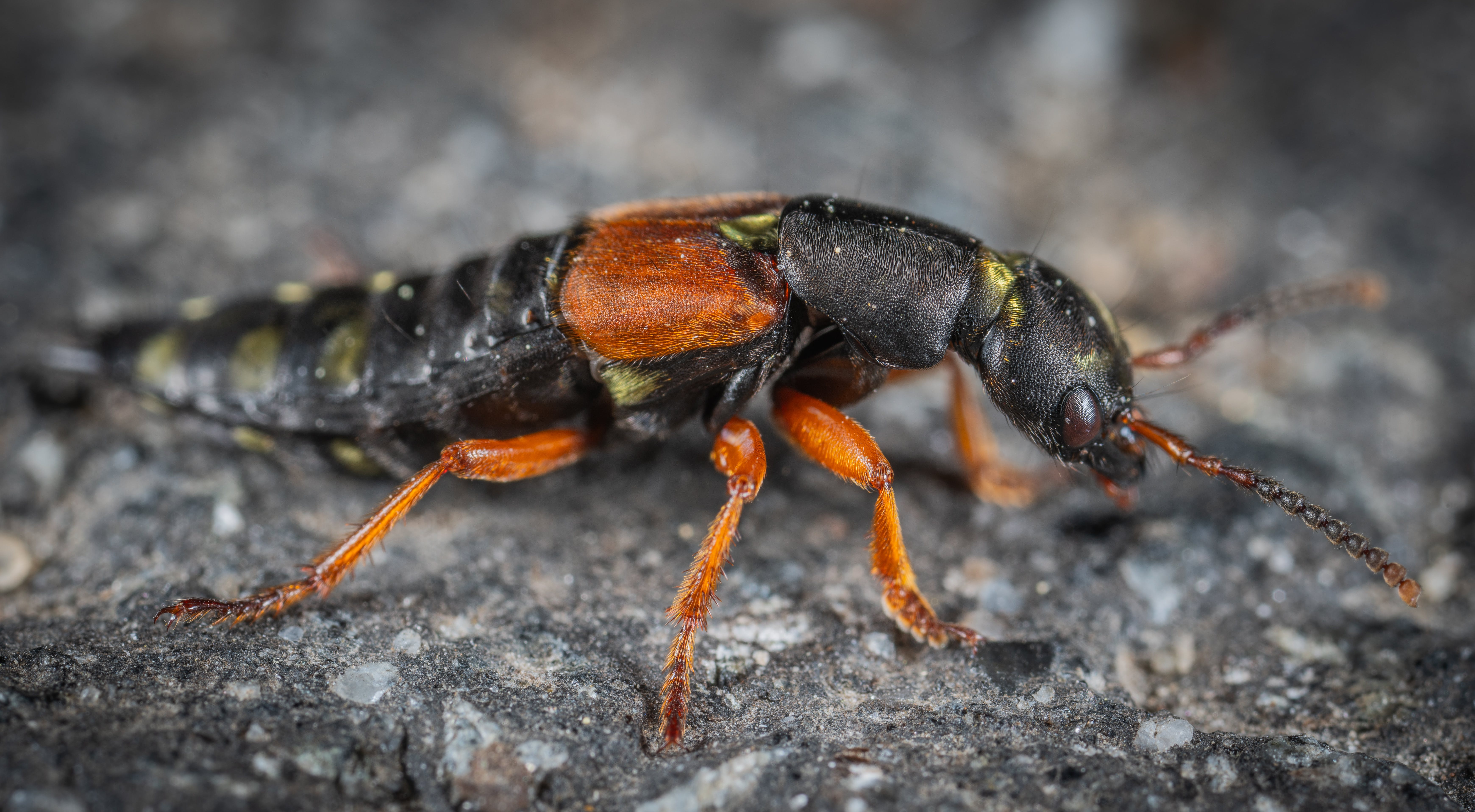 Black and Orange Beetle on Grey Surface