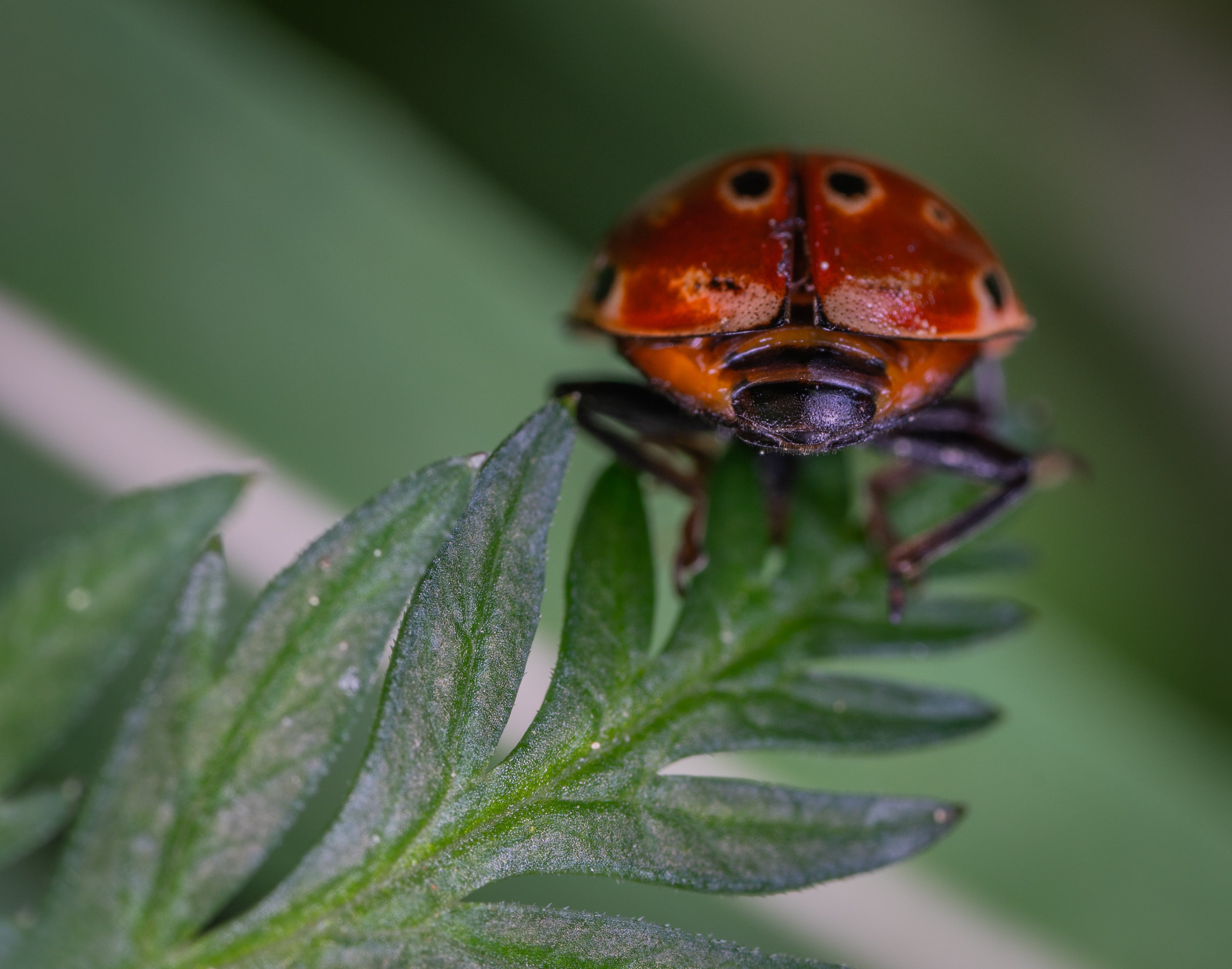 Close-up Photography of Red and Black Ladybug