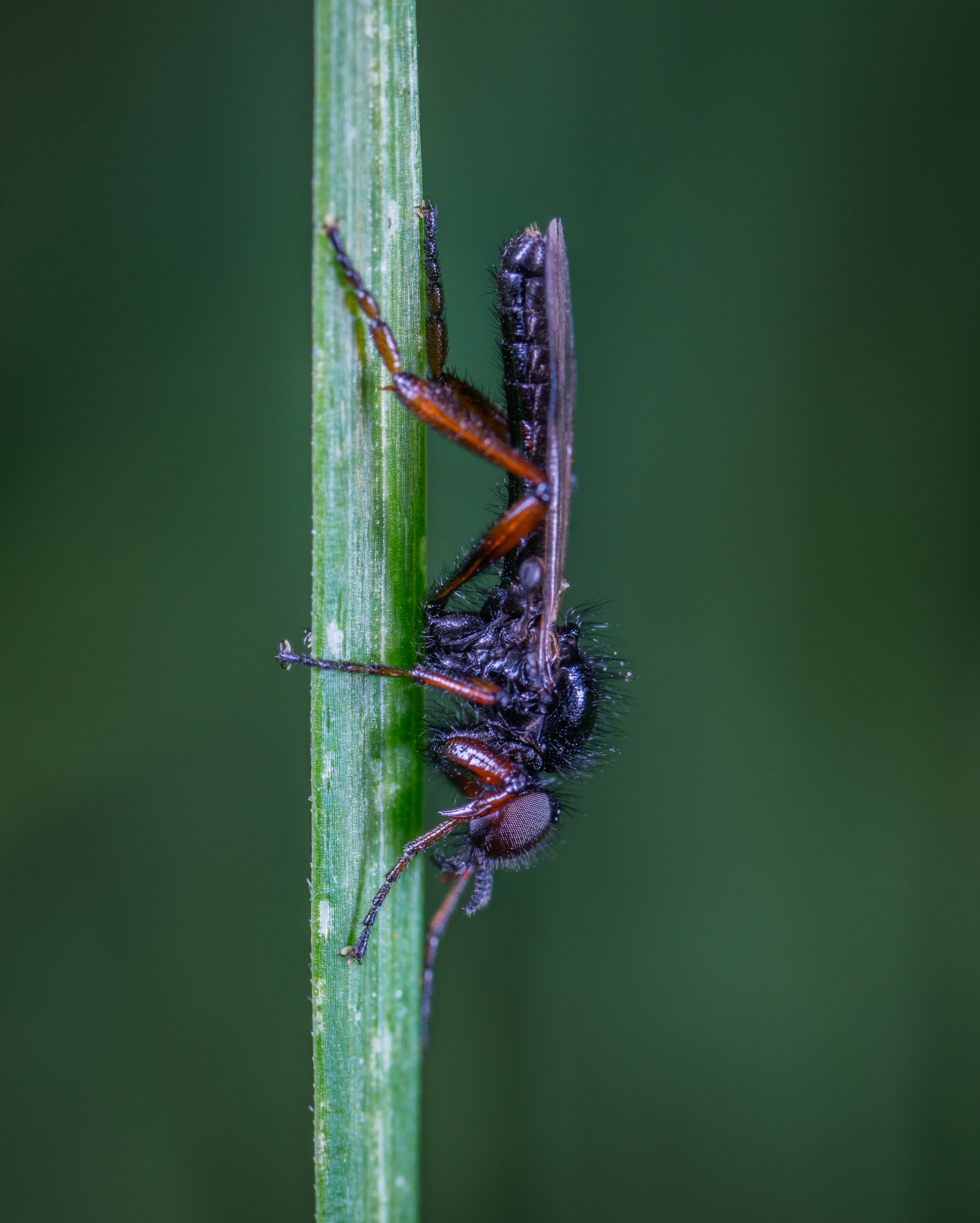 Black and Brown Robber Fly