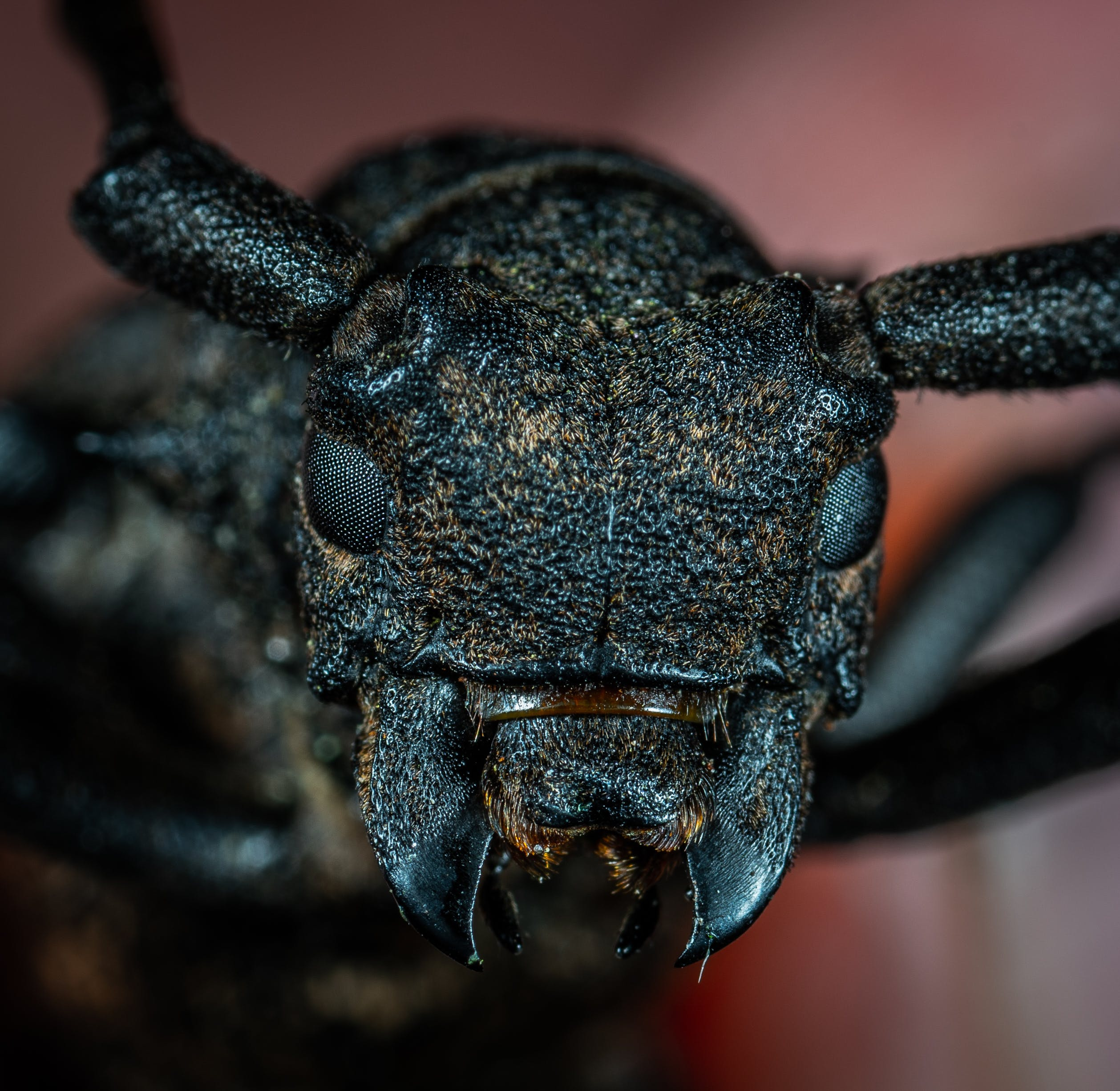 Black Beetle in Macro Photography