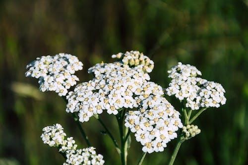 Gratis arkivbilde med åker, blomster, blomsterblad, blomstre