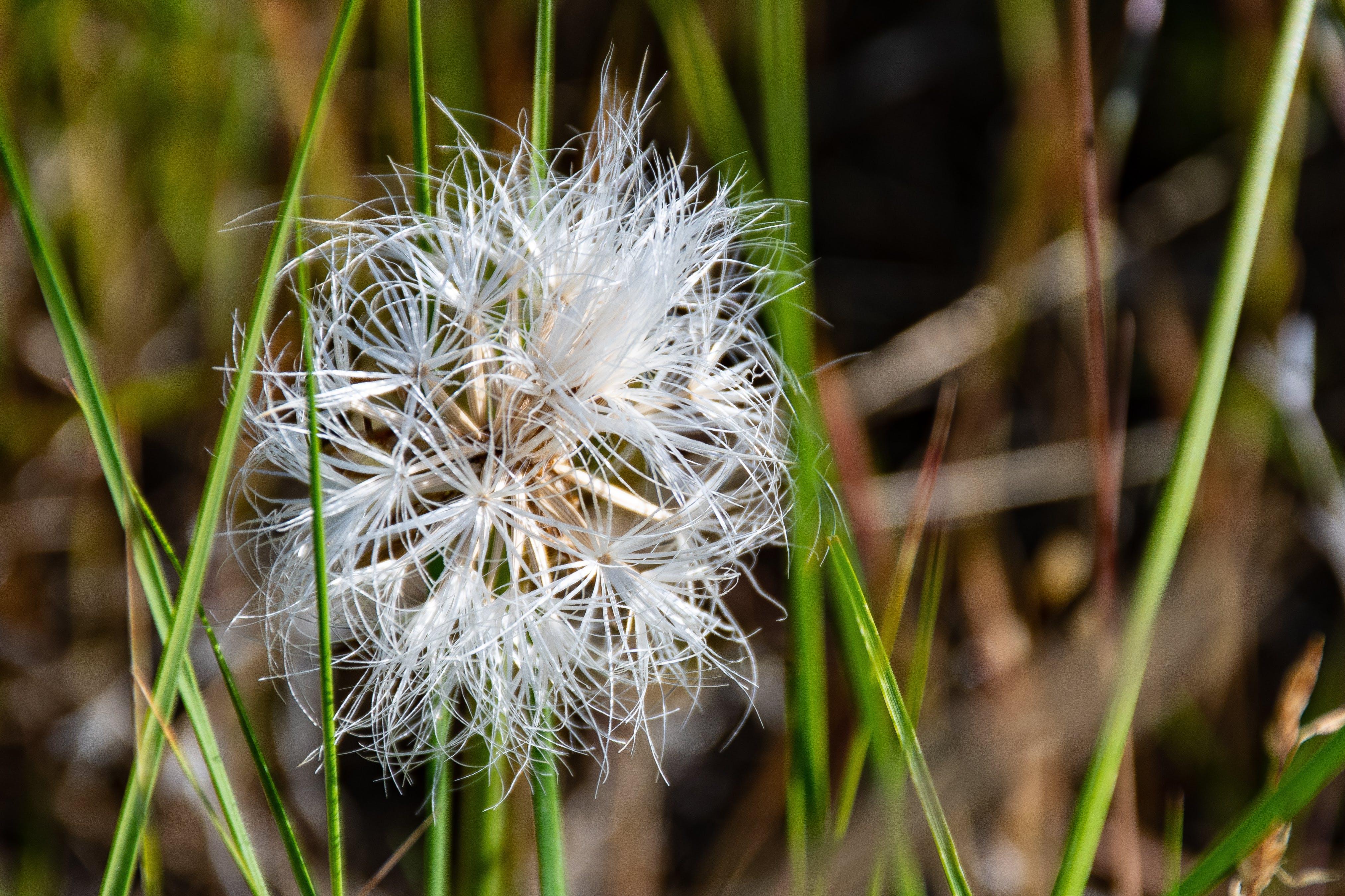 White Dandelion Flower at Daytime