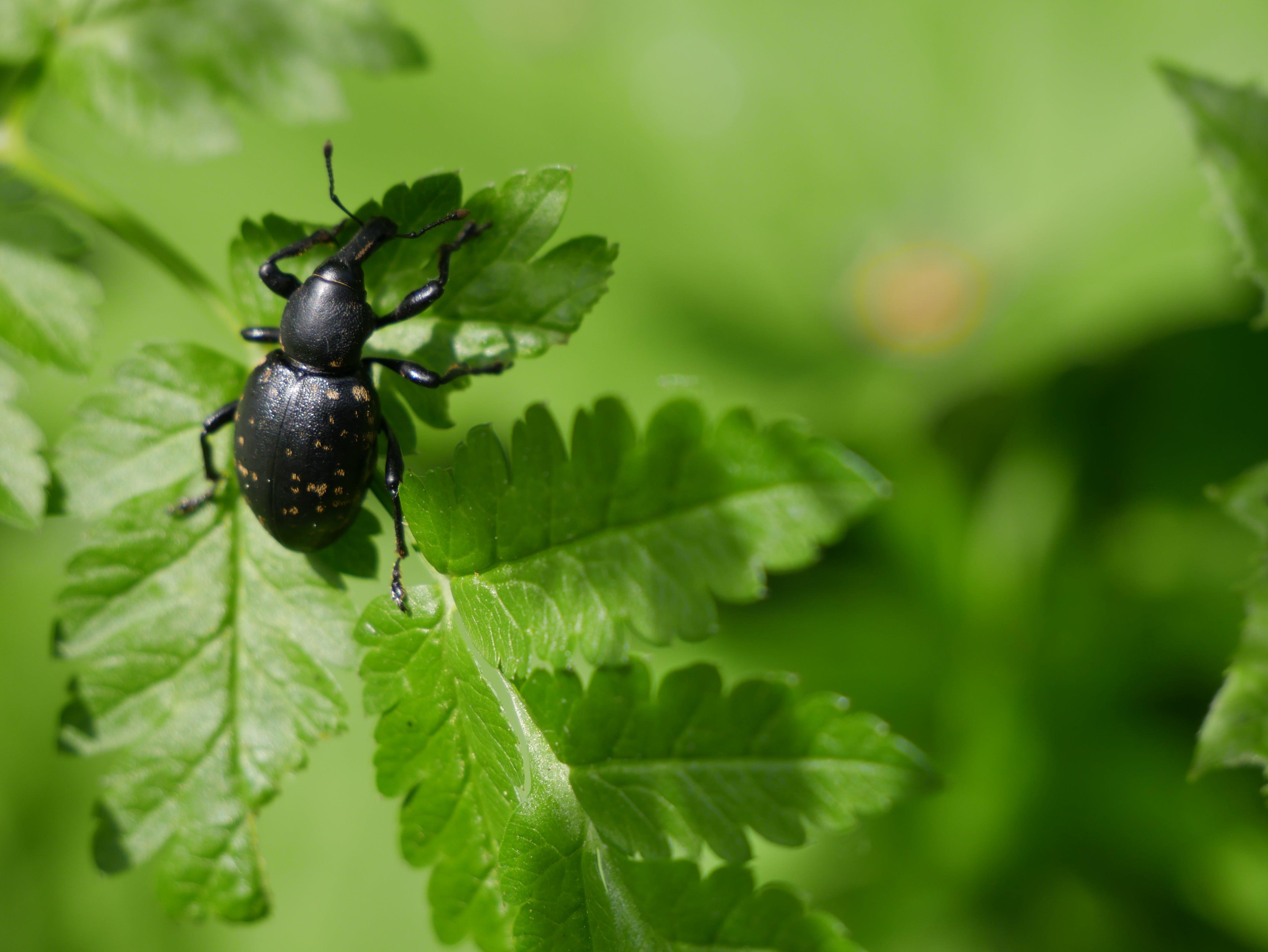 Black Weevil on Green Leaf
