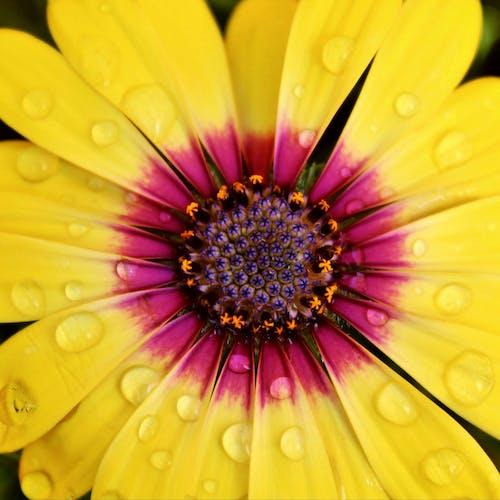Бесплатное стоковое фото с #flower #osteospermum #spring #petals #raindrops