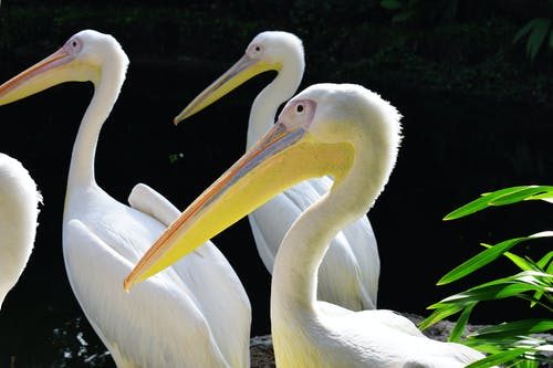 Бесплатное стоковое фото с белая птица, белые перья, желтый клюв, перья