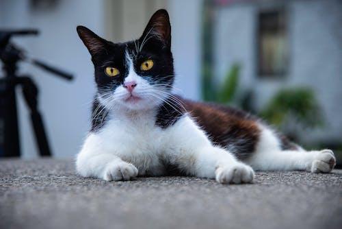 Ingyenes stockfotó állat, aranyos, cica, emlős témában