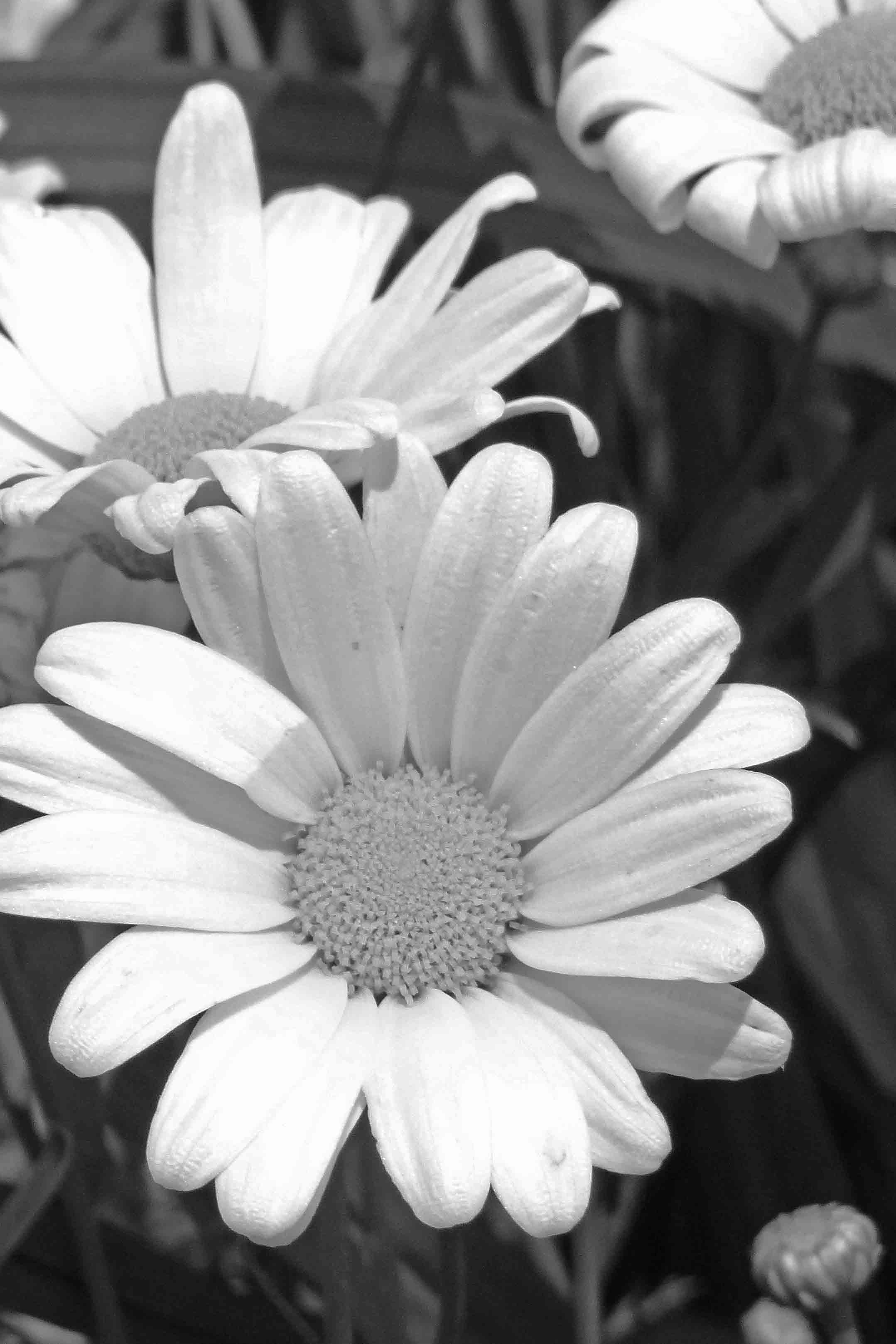 Free stock photo of black and white, daisy, flower