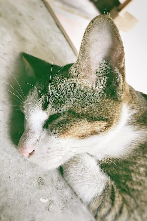คลังภาพถ่ายฟรี ของ นอน, น่ารัก, สัตว์, แมว