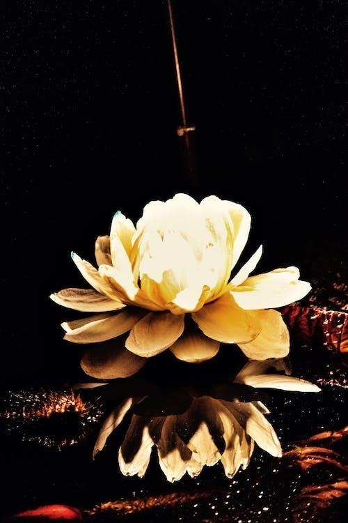 Základová fotografie zdarma na téma koi, kytka, lilie, ryba