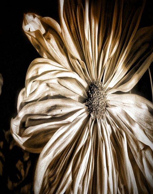 Free stock photo of chrysanthemum, flower, sepia