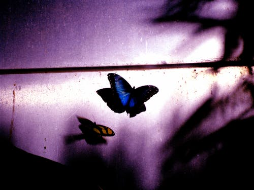 Free stock photo of butterfly, purple