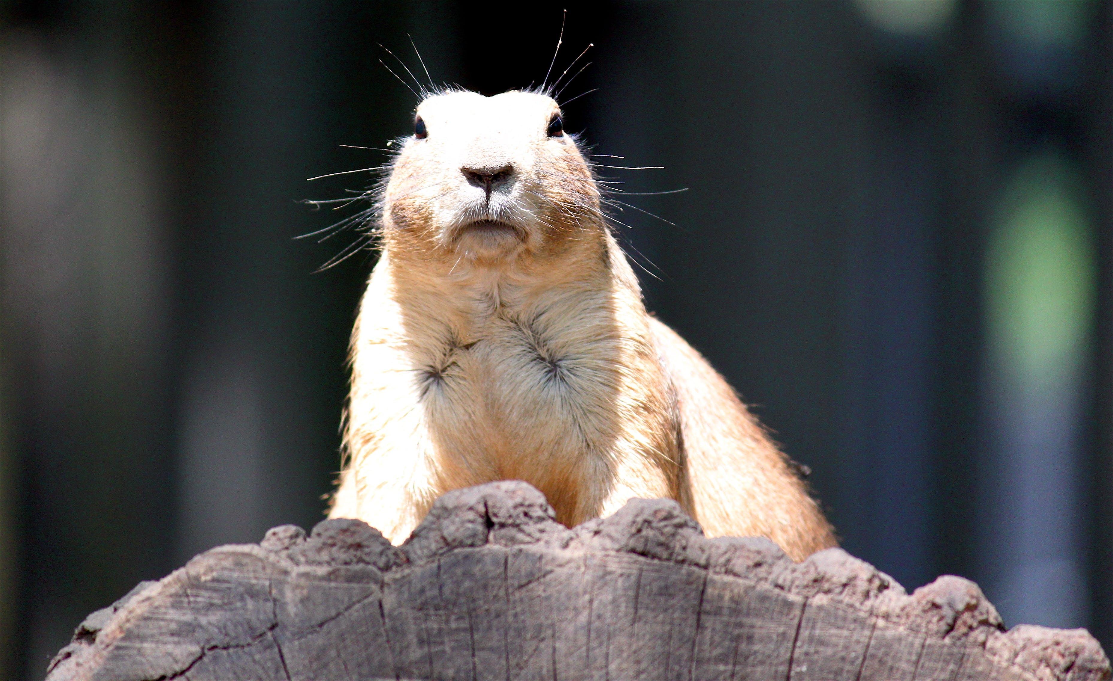 groundhog, zoo, zvíře