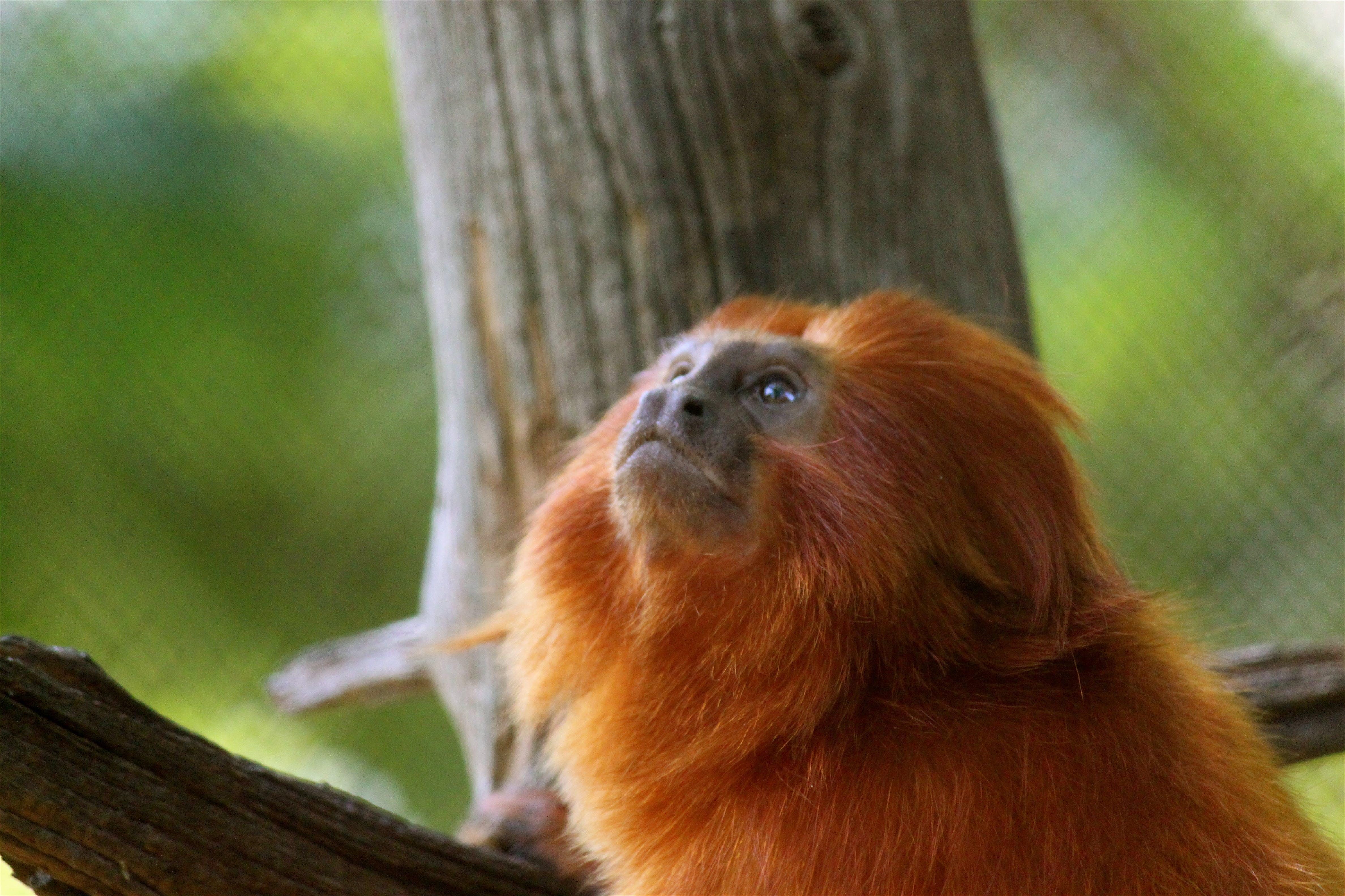 Free stock photo of animal, monkey, zoo