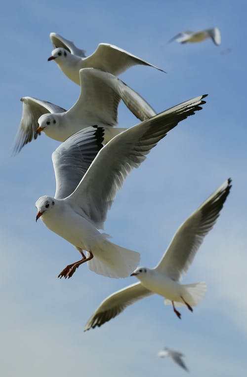 คลังภาพถ่ายฟรี ของ การบิน, ท้องฟ้า, นกนางนวล, นางนวล