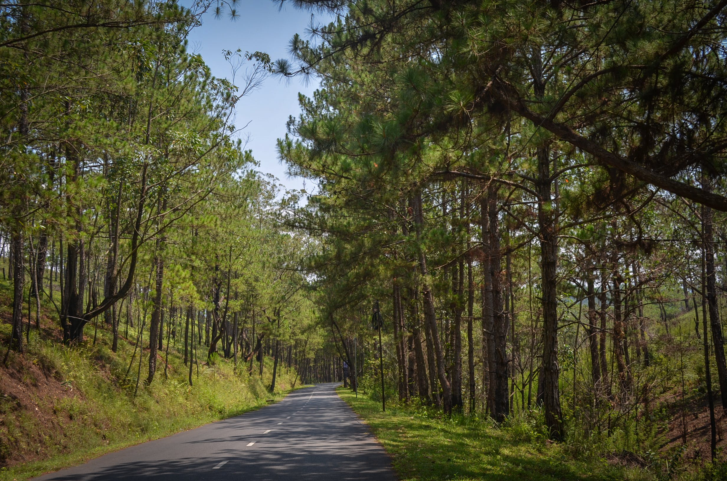 countryside road, pine trees