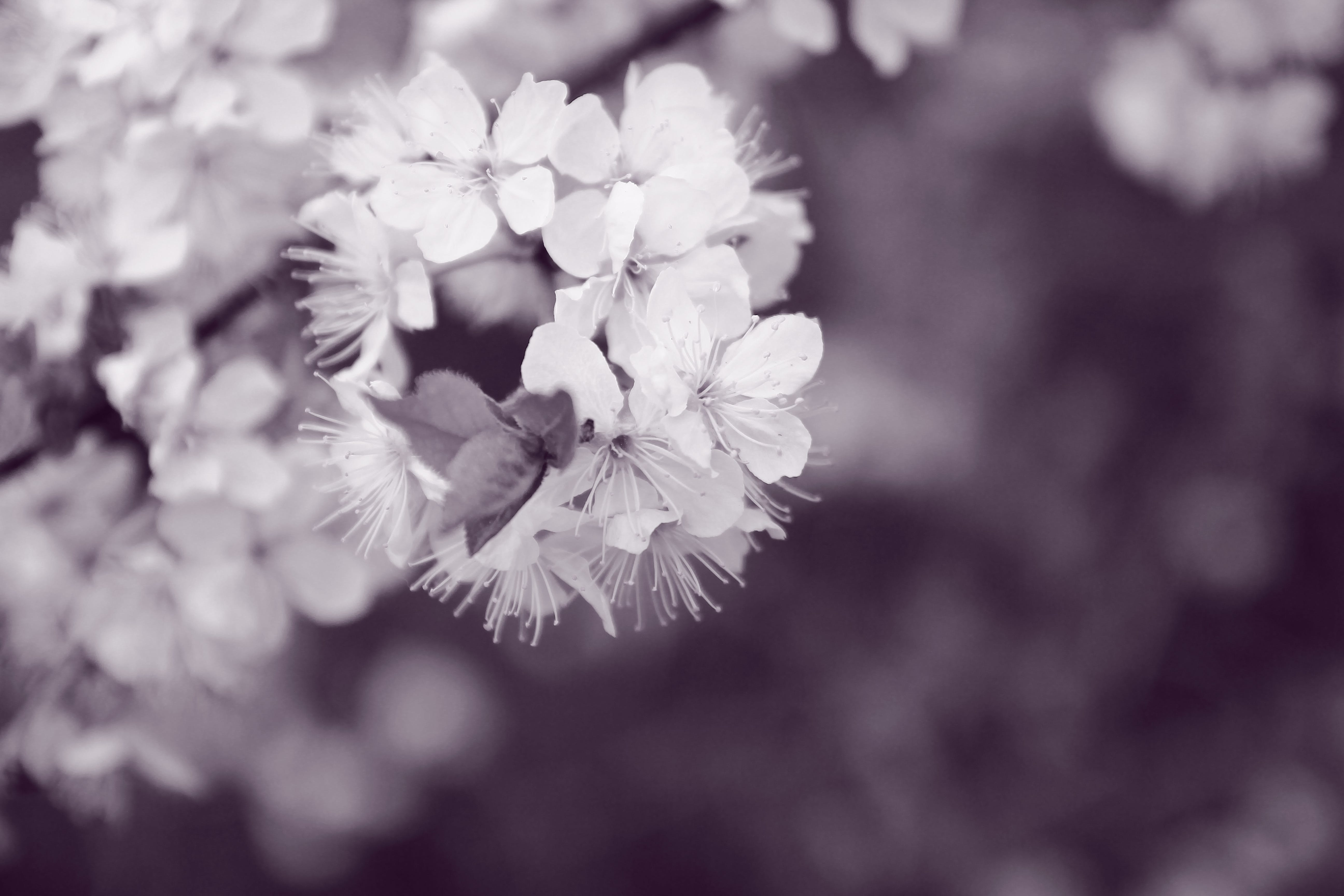 Free stock photo of beauty, black and white, blossom, blossoming