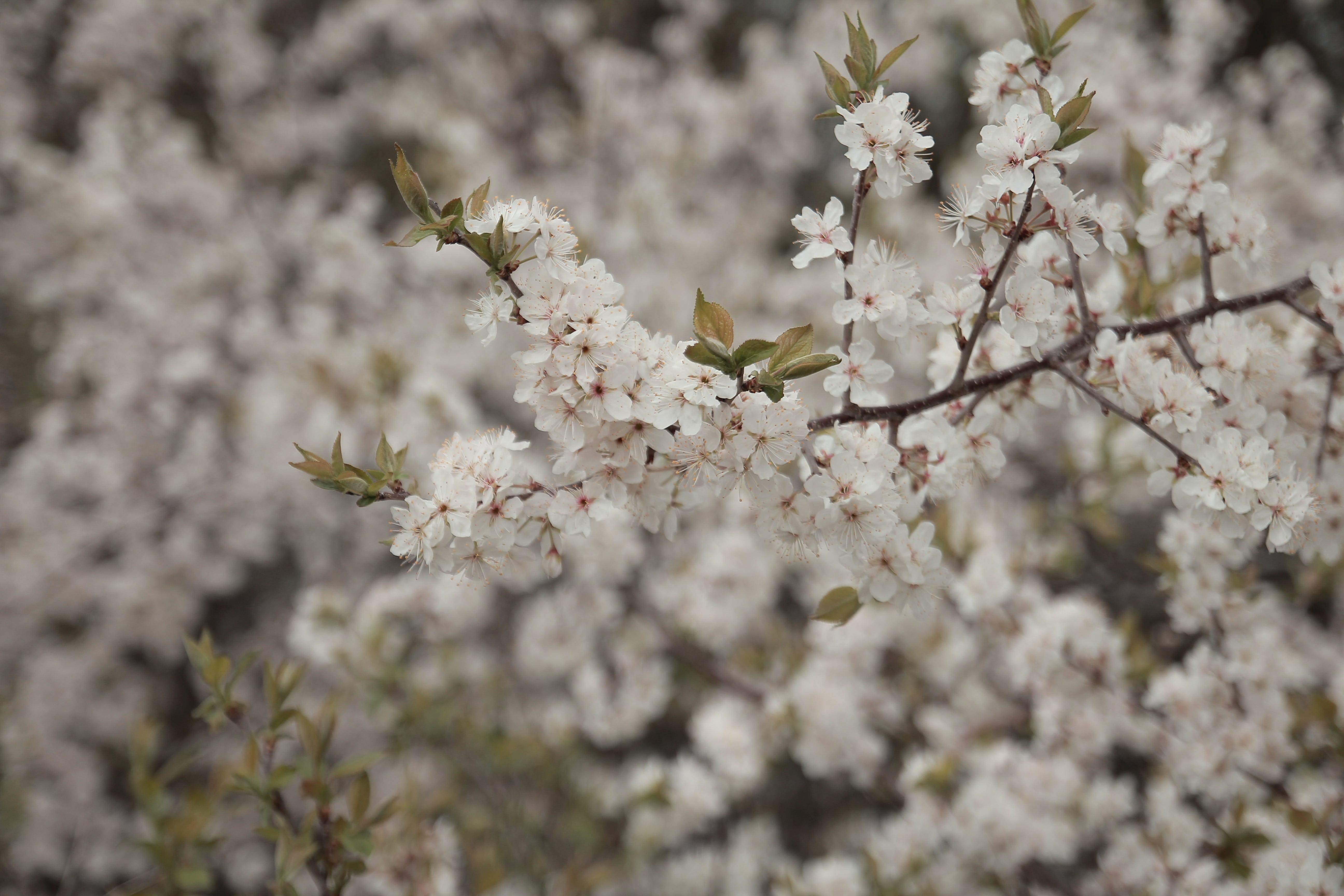 Free stock photo of beauty, blossom, blossoming, canada