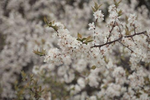 Immagine gratuita di bellezza, bianco, bocciolo, canada