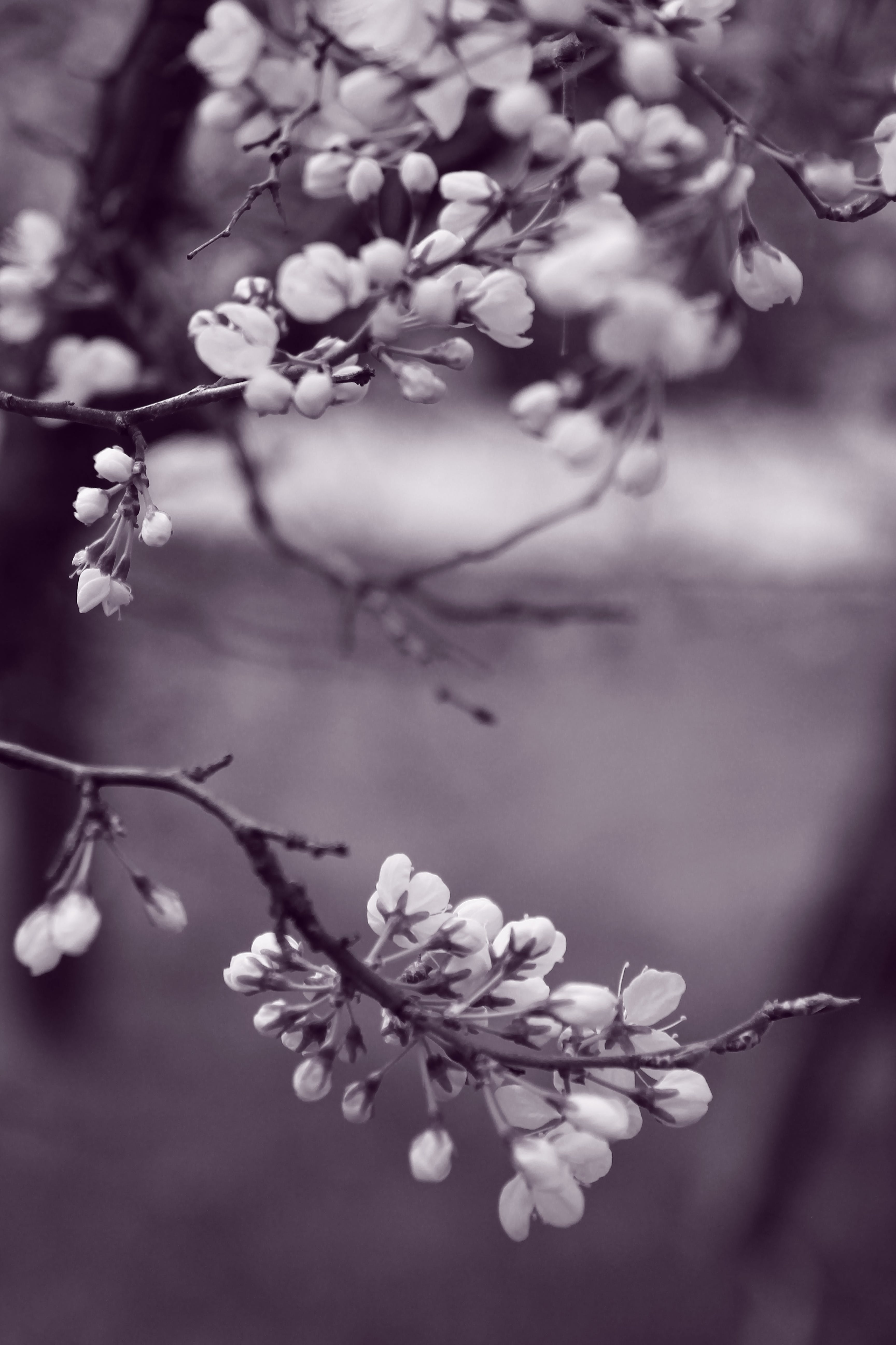 Grayscale Photo of Flowers in Tree
