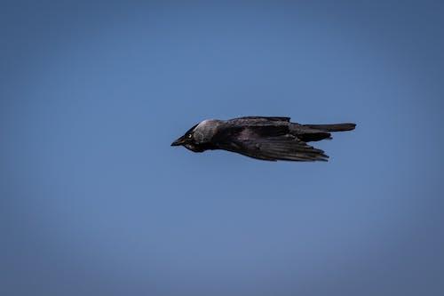 #jackdaw, #wildlife, #性質, #烏鴉 的 免費圖庫相片
