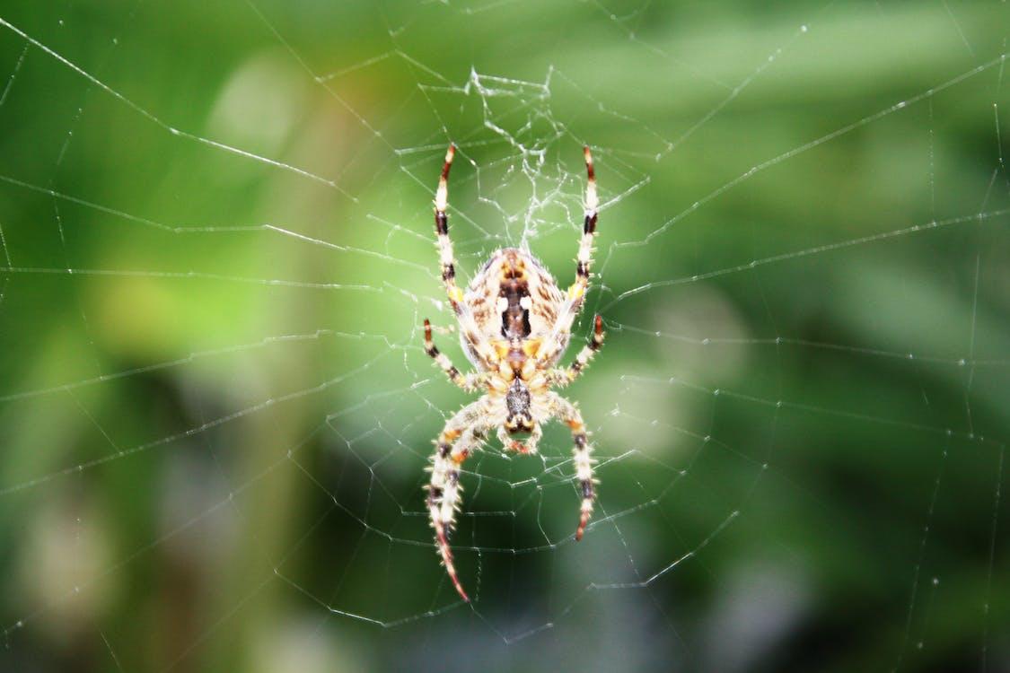 dybdeskarphet, dyr, edderkopp