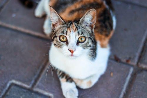 Ilmainen kuvapankkikuva tunnisteilla eläin, eläinkuvaus, katsominen, kilpikonnakuvioinen kissa