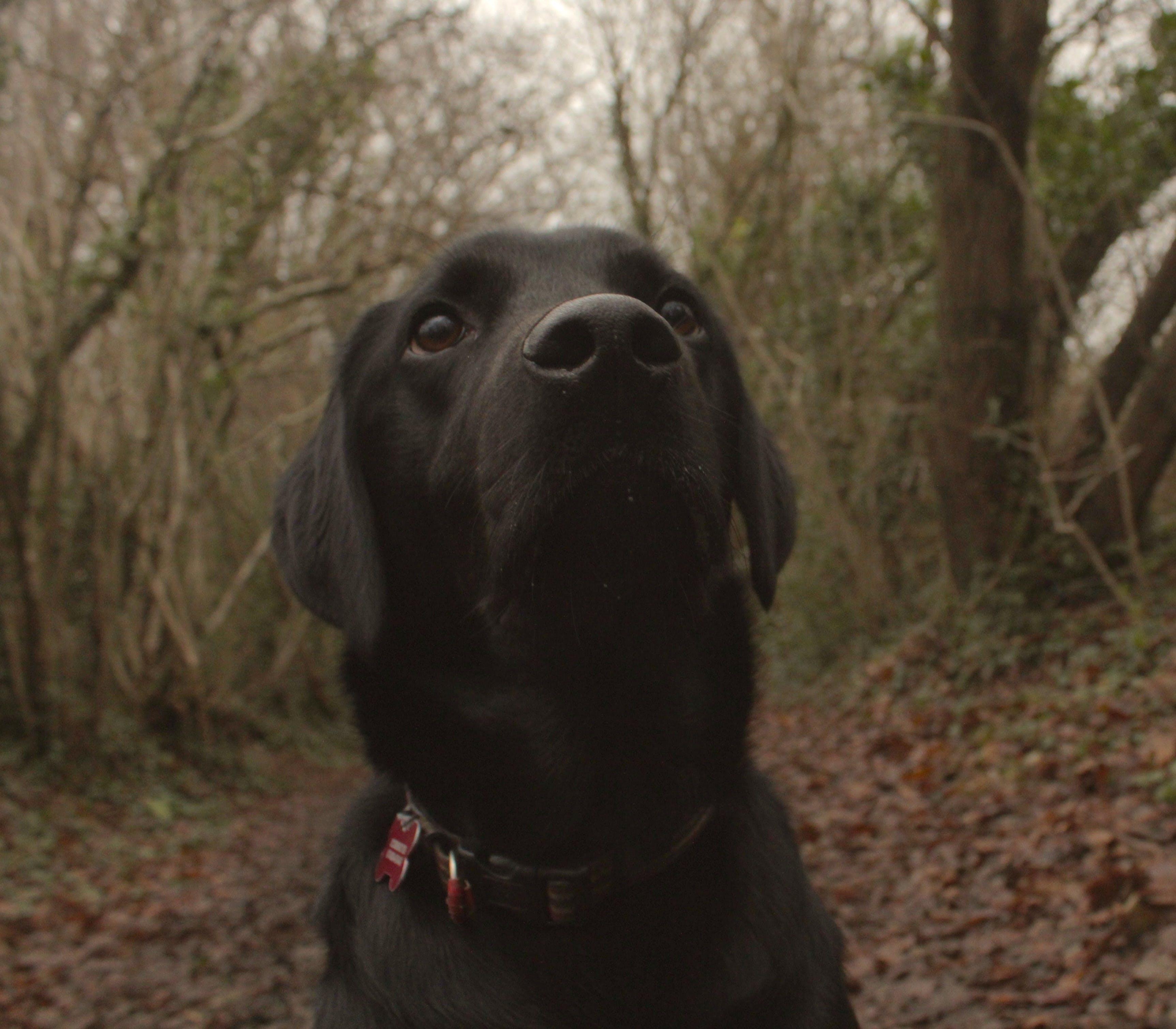 Free stock photo of dog, labrador, loving dog, nature photography