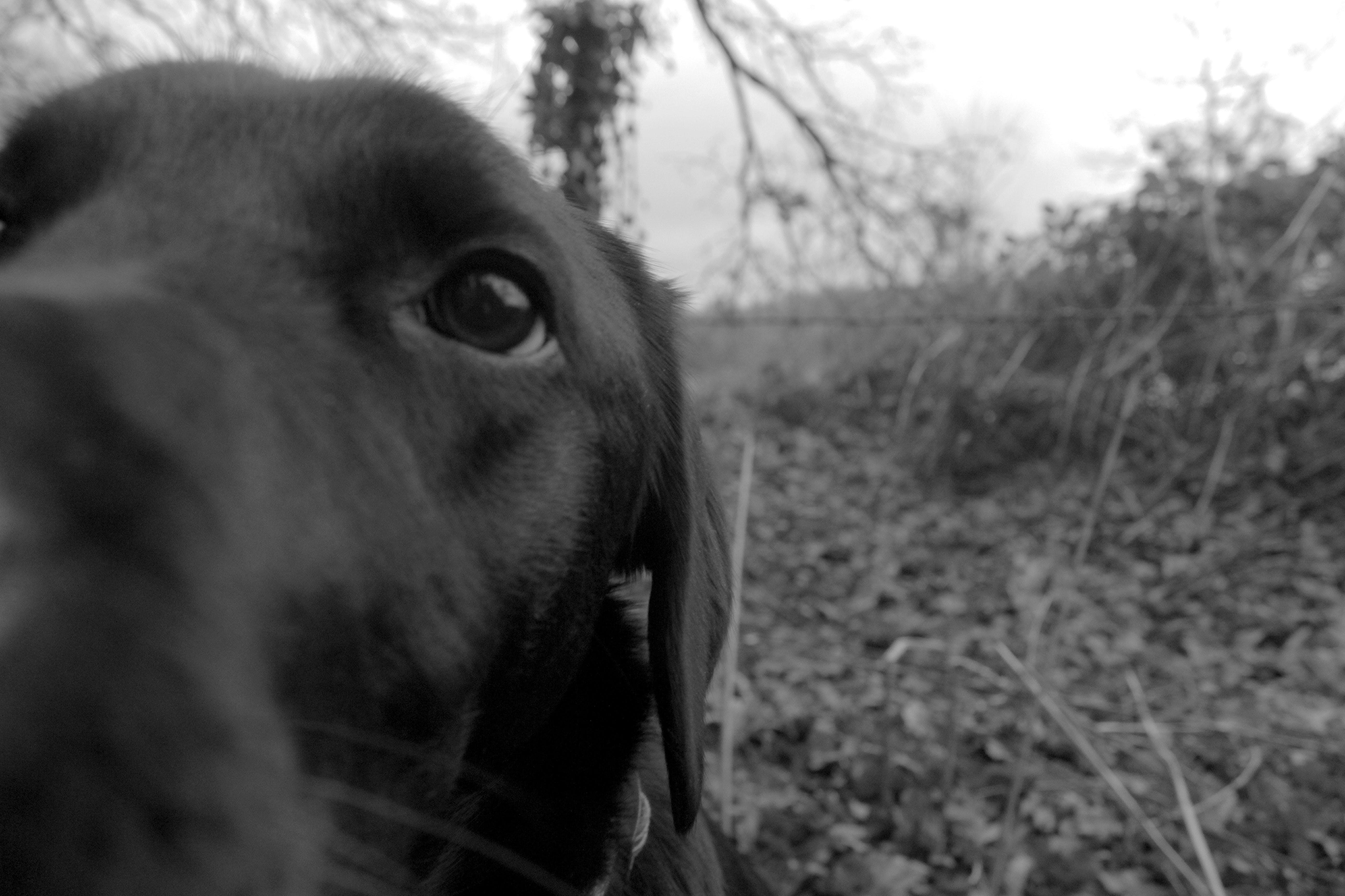Free stock photo of black and white, black and white dog, dog, labrador