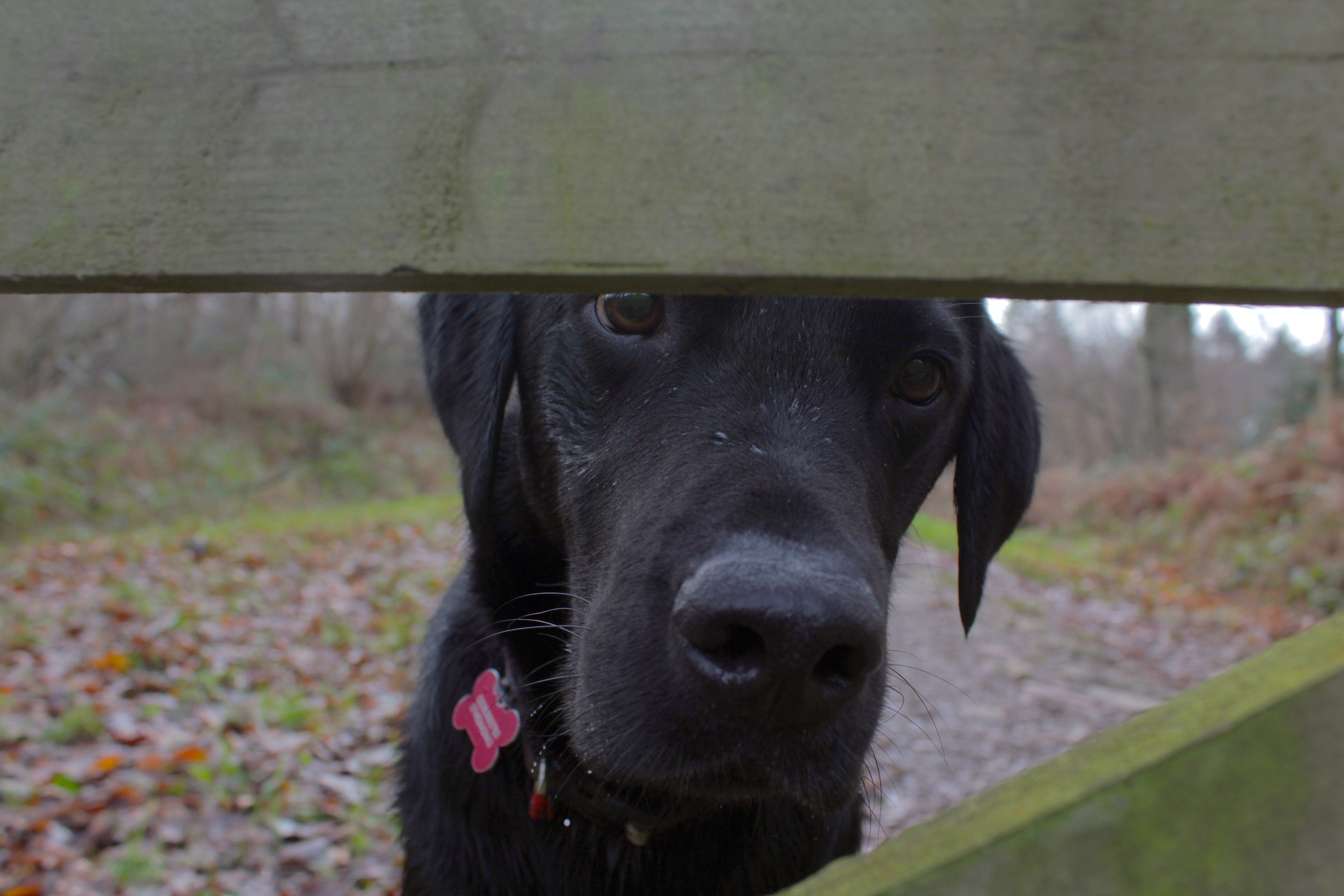 Free stock photo of dog, dog looking through fence, labrador, nature photography