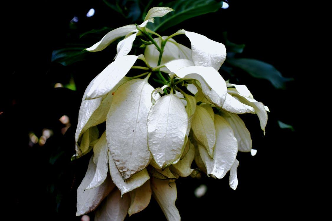biały kwiat, ciemny, kwiat