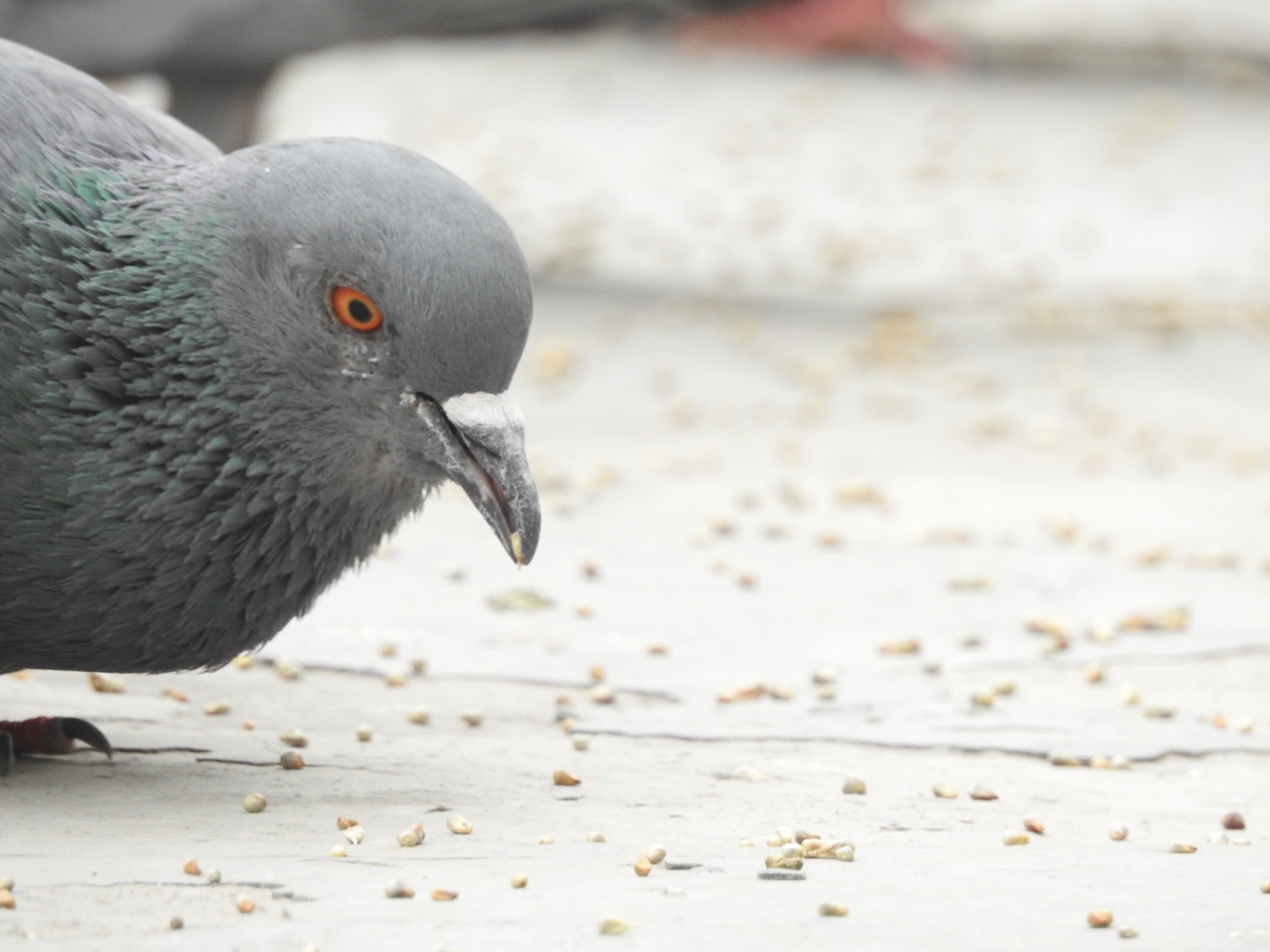 Kostenloses Stock Foto zu #vogel, taube, vogelfütterer
