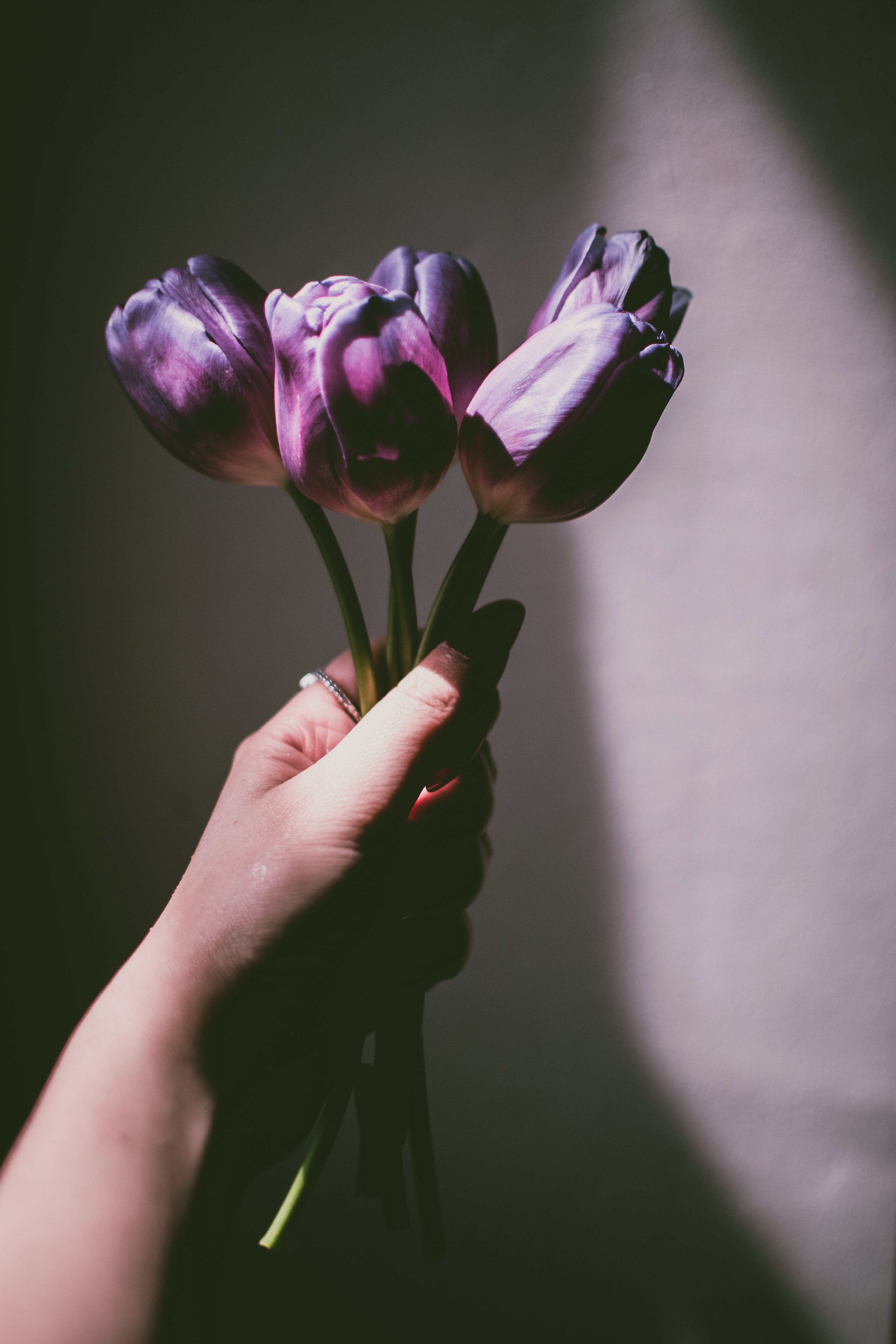 Person Holding Purple Tulips