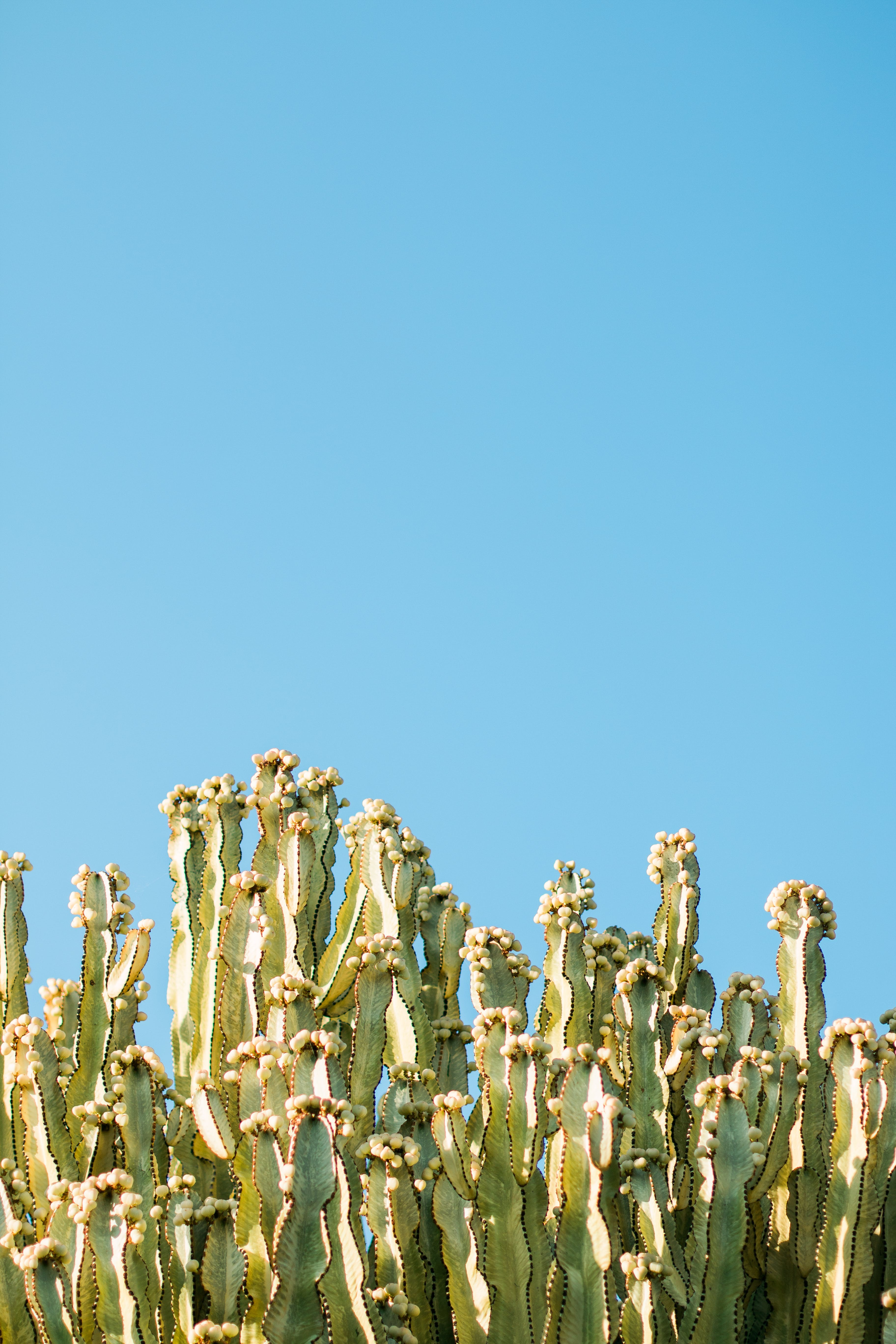 Cacti Plants and Blue Sky