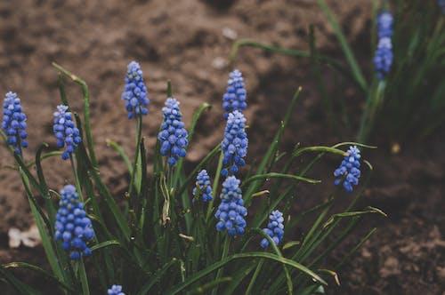 Безкоштовне стокове фото на тему «гіацинт, завод, зростання, квіти»