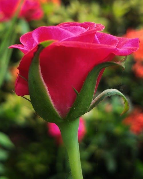 Free stock photo of nature, rose