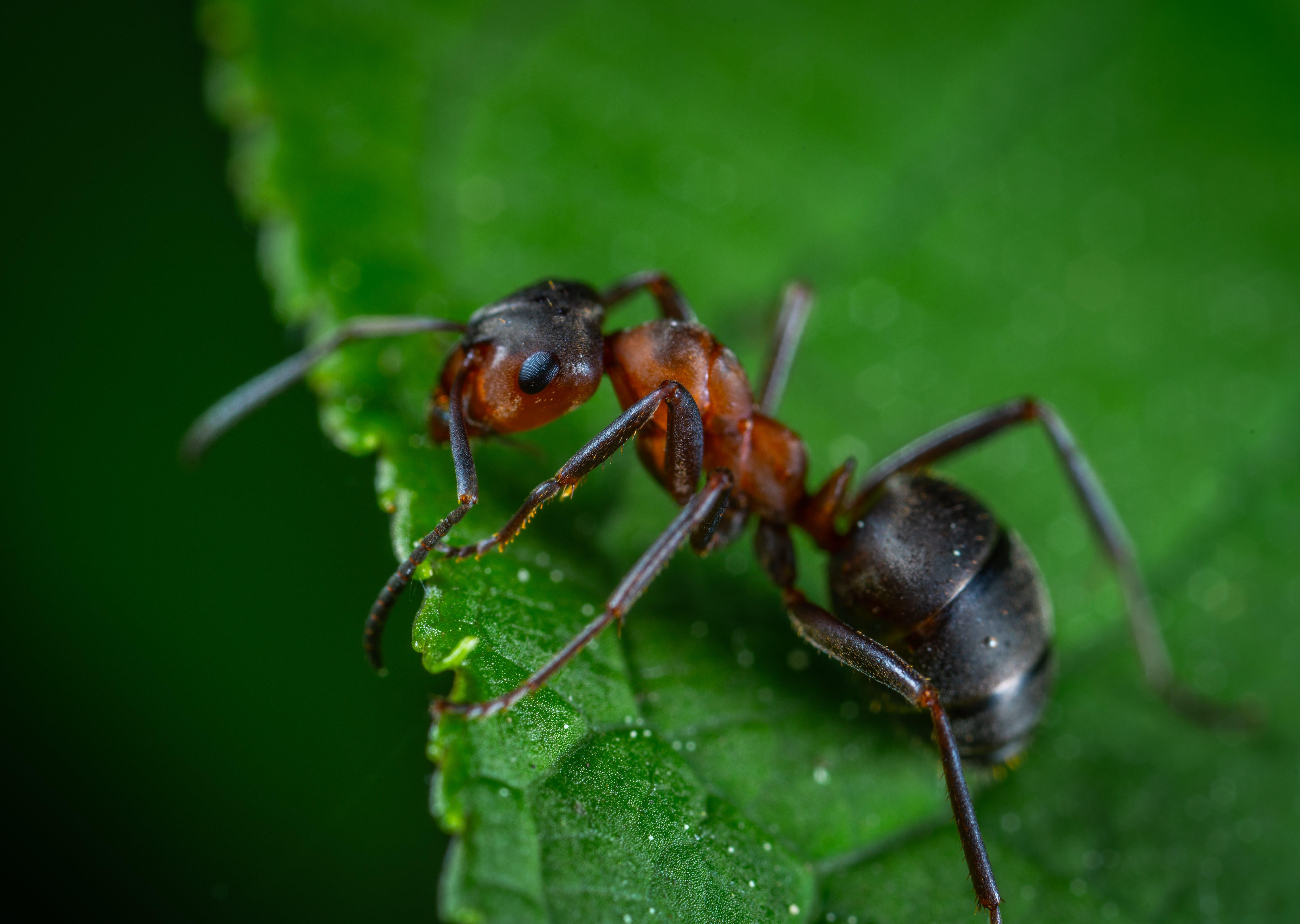 Gratis lagerfoto af insekt, makro, mikro, myre