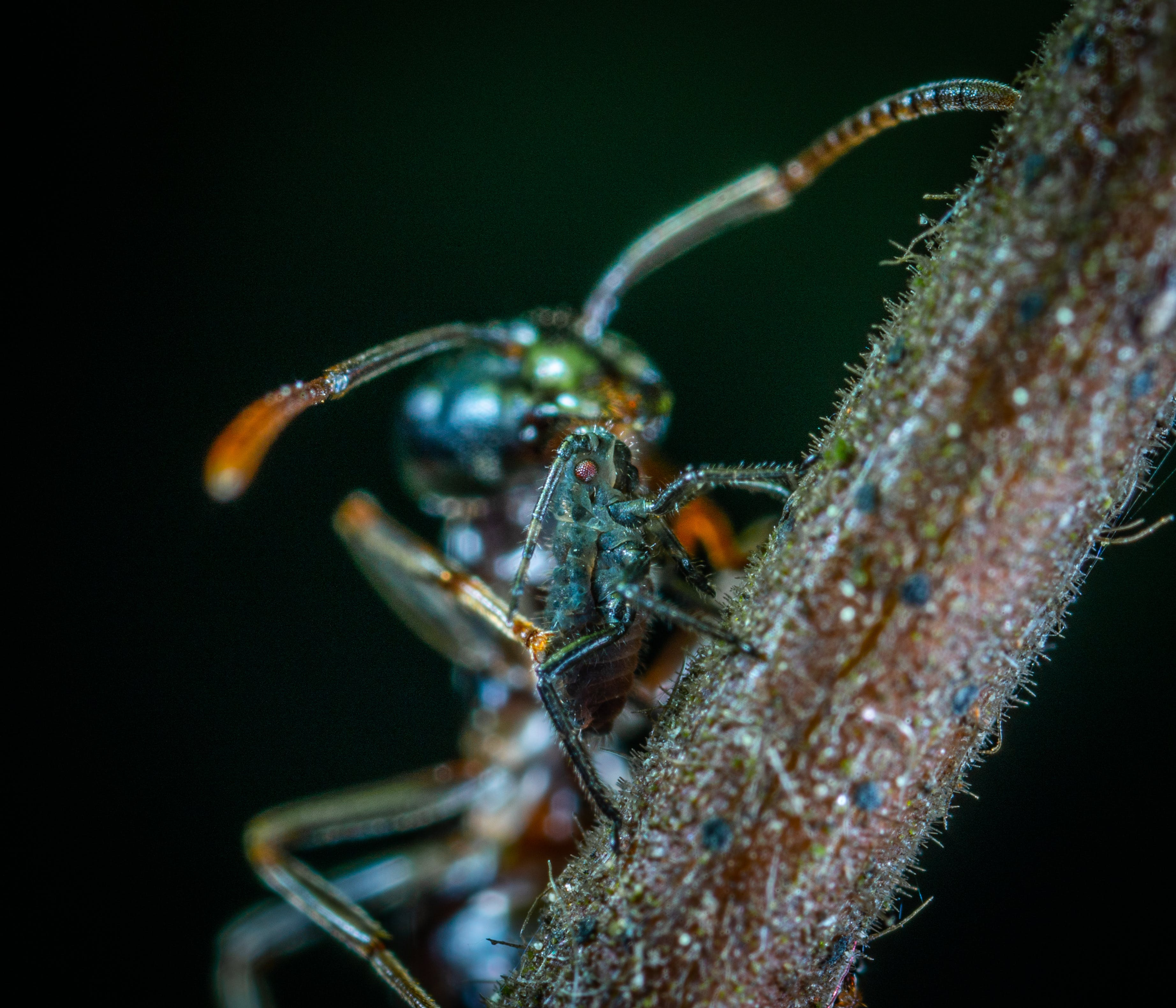 Free stock photo of insect, macro, ant