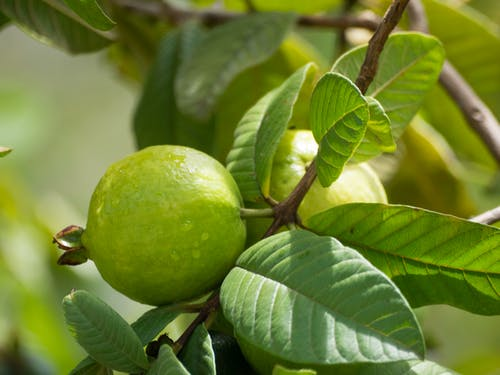 Free stock photo of guava, tropical fruit
