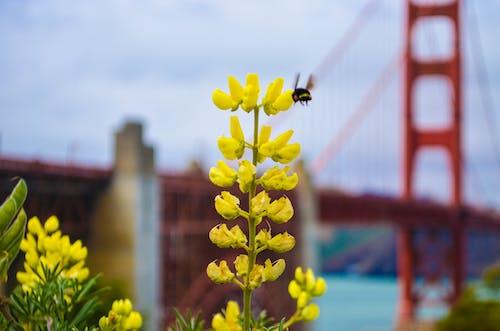 Δωρεάν στοκ φωτογραφιών με γέφυρα Γκόλντεν Γκέιτ, μέλισσα, μητέρα φύση, όμορφα λουλούδια