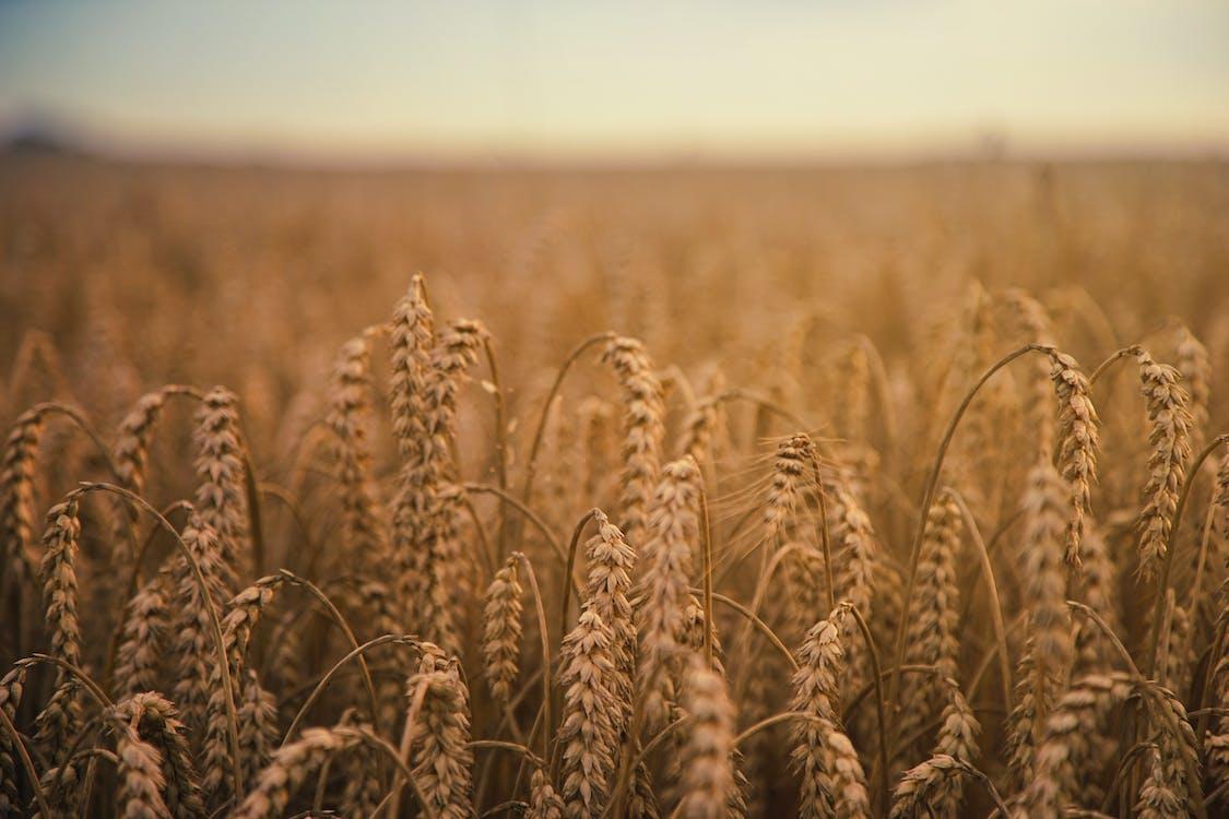 Foto d'estoc gratuïta de agricultura, blat, camp