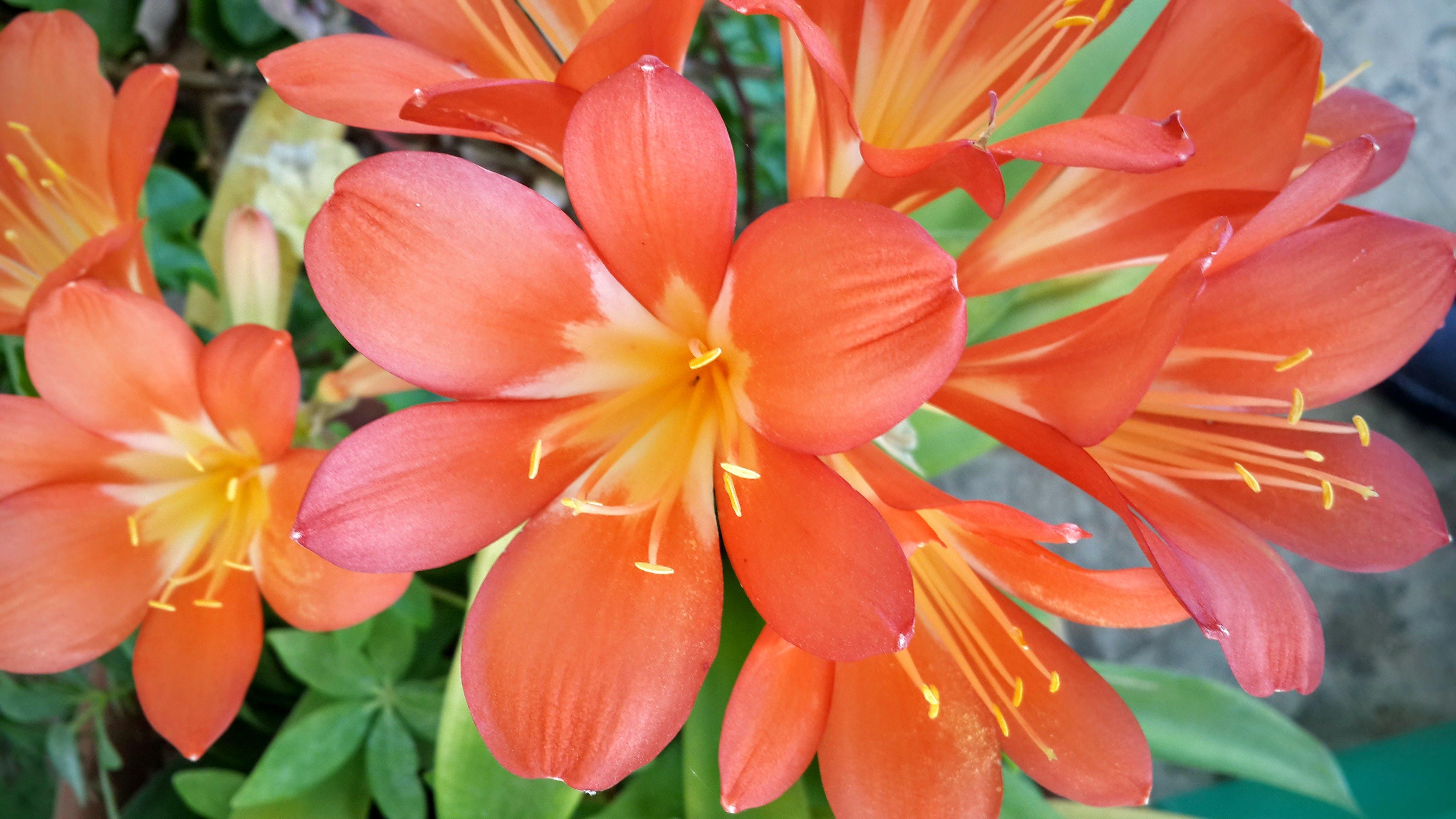 Free stock photo of flowers, orange