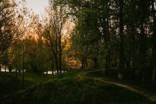 Immagine gratuita di abeti, alba, alberi, ambiente