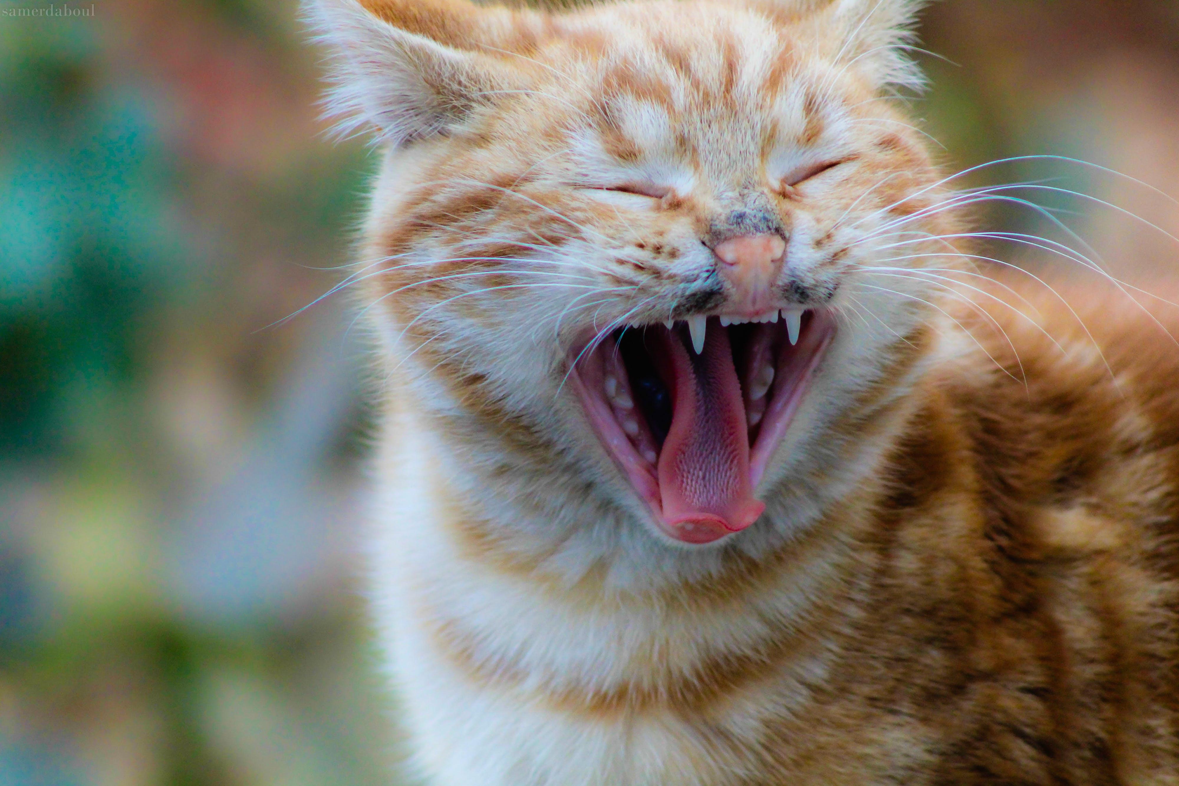 Selective Focus Photography of Yawning Orange Tabby Cat