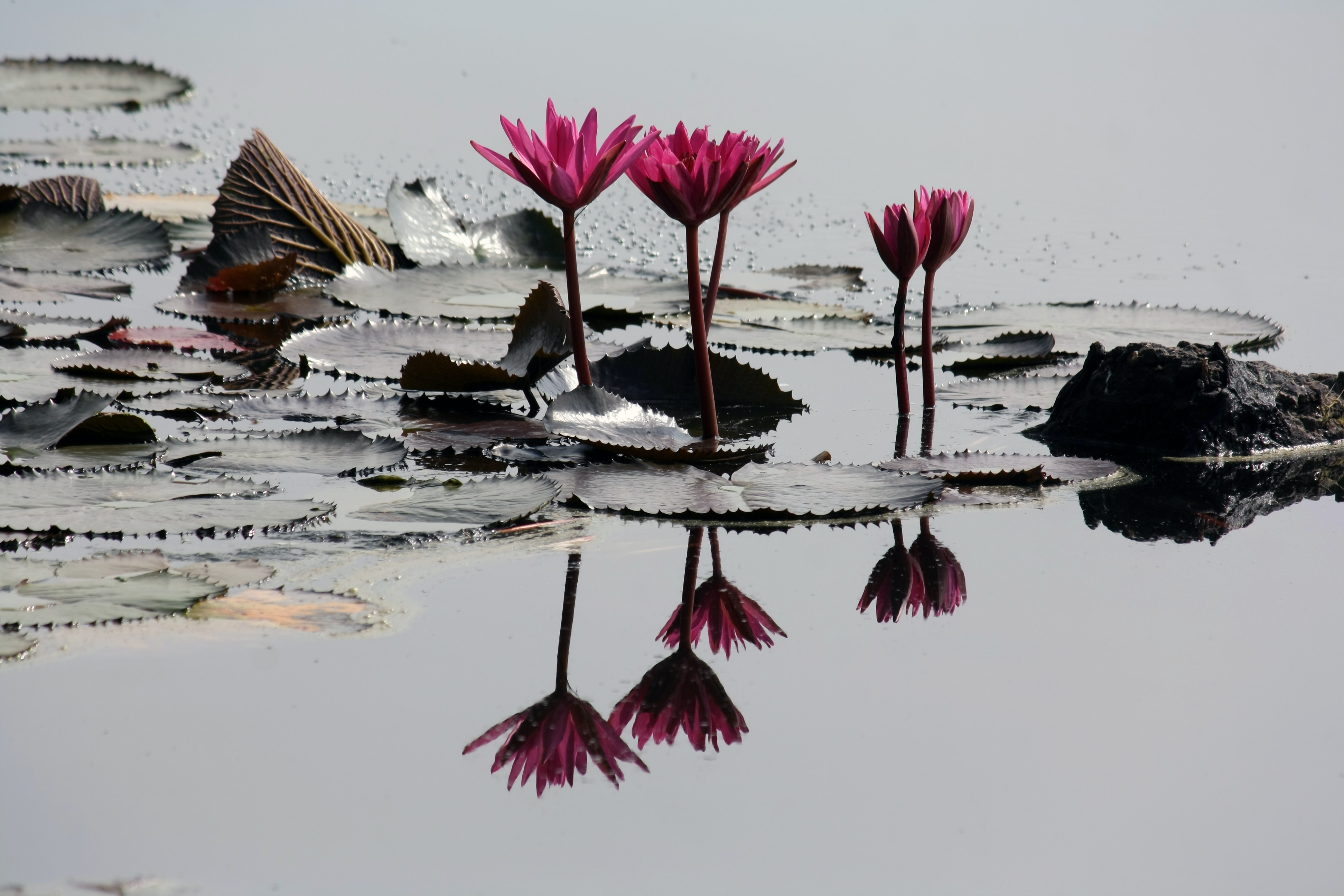4 pink lilies on pond · free stock photo