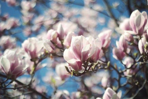 Immagine gratuita di bellissimo, bocciolo, ciliegia, colore