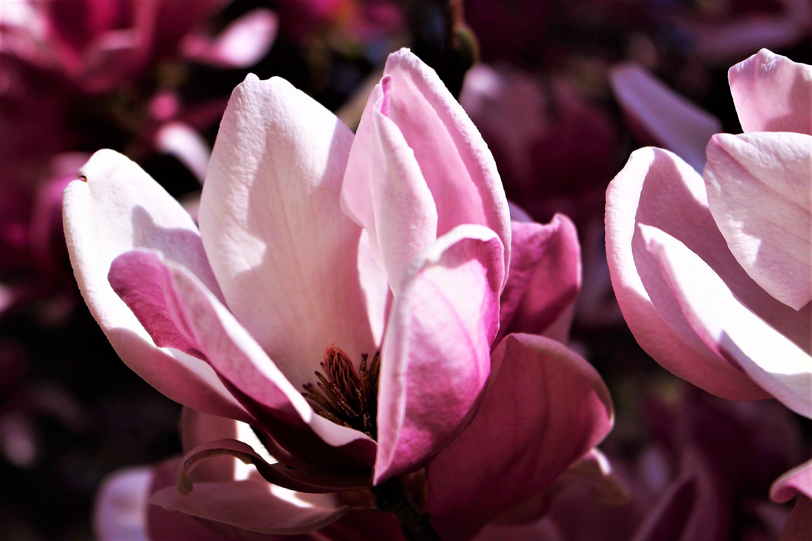 Kostenloses Stock Foto zu blumenblühte, natur, pinke blume